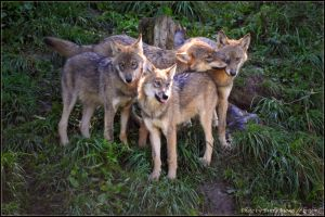 Wolfpack2 by brijome