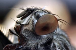 Flesh Fly by Japers