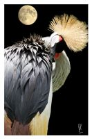 Grey Crowned Crane by PatriceChesse