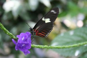Red and Black Butterfly by LadyLyonnesse