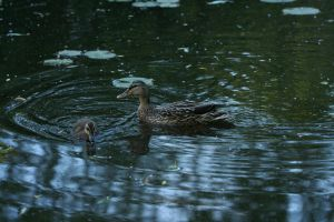 duck stock by hyannah77-stock