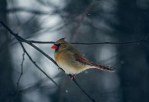 Female Northern Cardinal by ViridianRoses