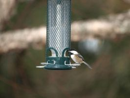 Chickadee on the feeder by P8ntBal1551