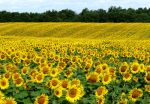 sunflowers for ever by Dieffi