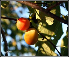 Edible  Persimmons Diospyros Virginiana (ripen by bullsnook