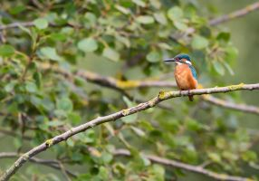 Kingfisher by Hansve