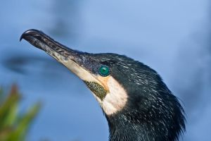 Great Cormorant by AnjaSchlegelmilch