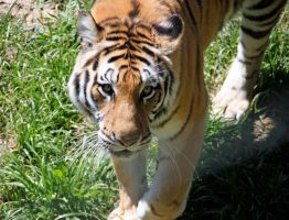 Tiger 2 by Dewheart85