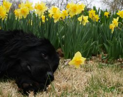 Newfoundland in the Daffodils by FullofSecrets