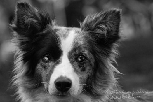 Border Collie -Diamond- by kattwo