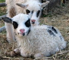 two spotted lambs by cottoncandysheep