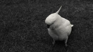 Black and white cockatoo by PhotonFossil