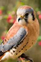 Kestrel - 3 by pangwinking