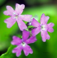 Flowers of a ground weed by drewii57