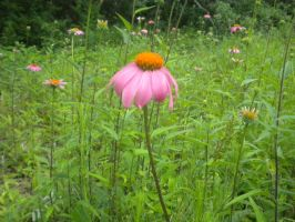 Purple Coneflower by Faroreswind159