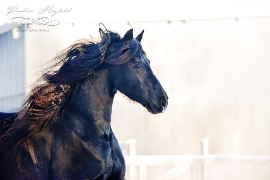 Friesian III by Colourize