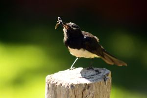 Willy Wagtail by meeshel99