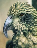 The Kea by micromeg