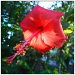 Red Hibiscus by WillTC