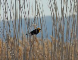 Yellow Headed Blackbird by angelbabiau