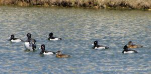 ring-necked ducks 2 by Kimi-Parks