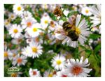 Busy as a bee by my-eyes-your-windows