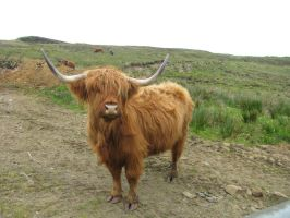 Animals 139 Heilan Coo by Dreamcatcher-stock