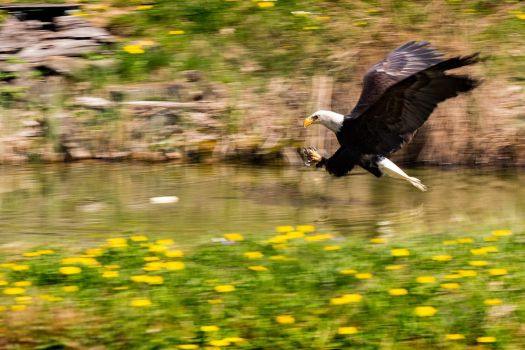 Attacking Eagle by VitalisPhoto