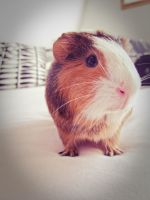 Cute Guinea Pig by Muggi93
