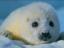 Baby Seal by s-b-z