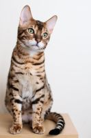Sitting Bengal Kitten Stock 1 by FurLined