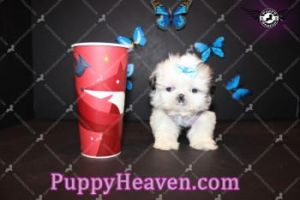 Teacup Pomeranian Puppies by puppyheaven