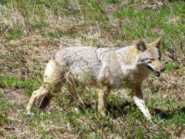 Coyote 3 by DaybreaksDawn