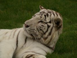 White tiger by suphoto