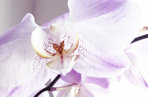 white orchid 2 by Miracle79