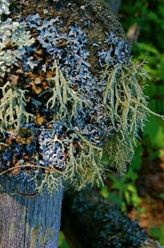 Like Lichens by sbraunginn