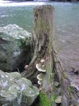 Tree Stump by Della-Stock