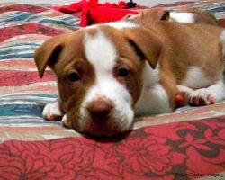 Pitbull Puppy by HelloBrooklyn18