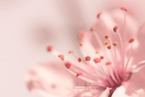 Pretty in Pink II by kuschelirmel