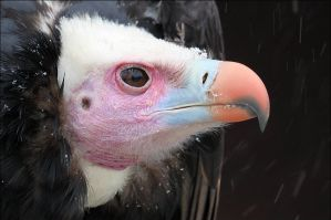 White-headed vulture. by Evey-Eyes