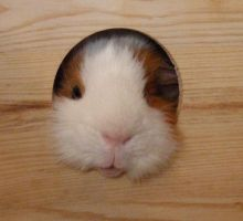 The Definition of a Guinea Pig by WickedPotter84