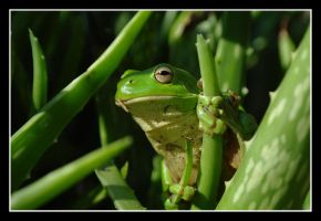 Another Green Tree Frog by SuperSal001