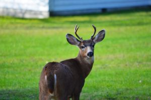 Yound buck deer by ShannonCPhotography