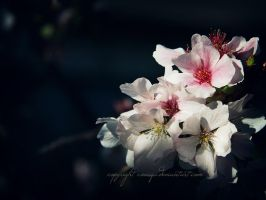 Blossoms in the Afternoon Sunshine by coniqa