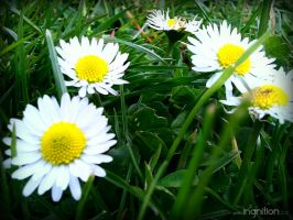 Spring Flower 2012 - 16 by Ingnition