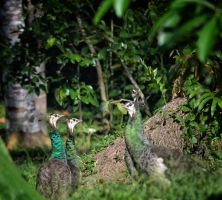 Bunch of Peacocks. by jennystokes
