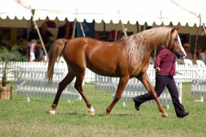 TW Arab flaxon chestnut trot side view by Chunga-Stock