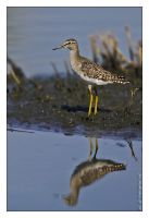 Wood Sandpiper by MrStickman