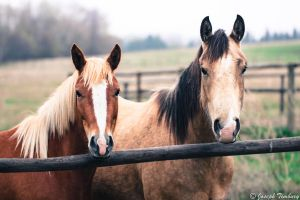 A Couple of Horses by JosephTimbury