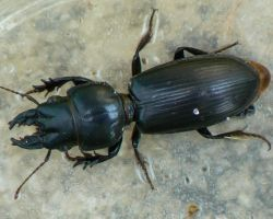 Big-headed Ground Beetle. by buckobeck